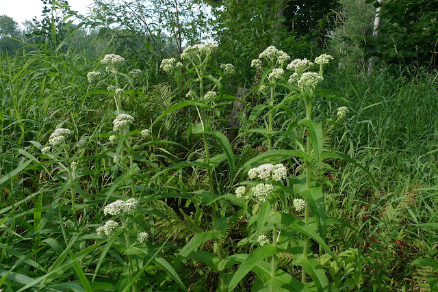 Urban wetland Wild Here Wildflower Boneset