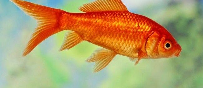 Jenis Ikan Komet Terbaru Yang Populer Dipelihara Saat Ini