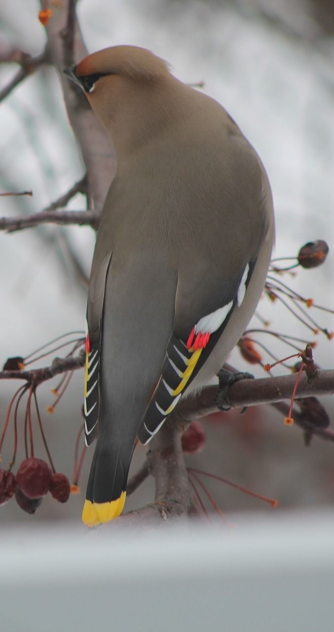 Picture of a cedar waxwing.