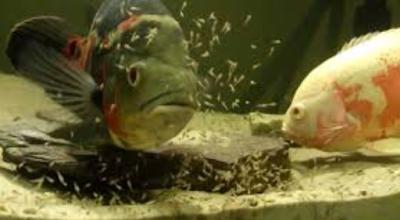betina bertelur adalah Cara Memedakan Ikan Oscar Jantan Dan Betina