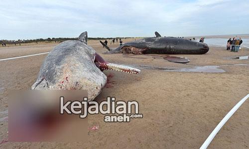 paus sperma terdampar mati di pantai skegness