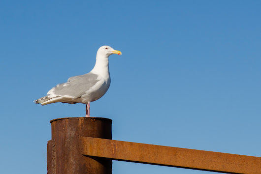 Gull on a cold piling