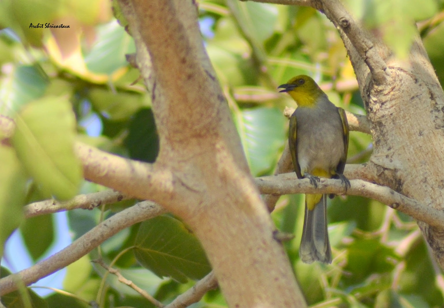 Yellow-throated Bulbul at Ramanagara Bangalore