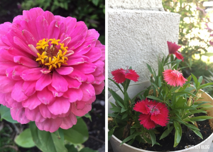 Zinnia and dianthus // www,thejoyblog.net