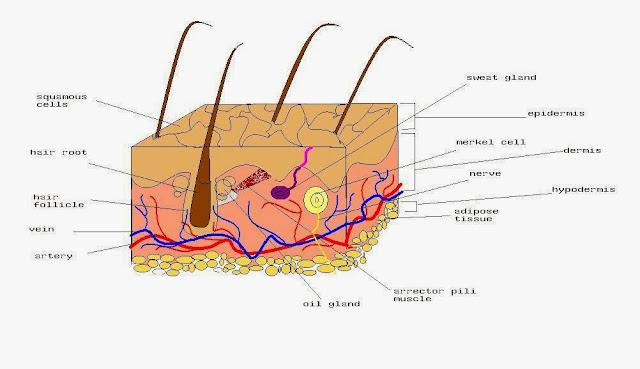 ialah penyakit kulit yang memdampaki siklus hidup sel Penyakit Psoriasis