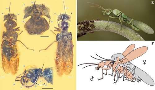 Novel body structure likely tied to mating in new extinct insect species