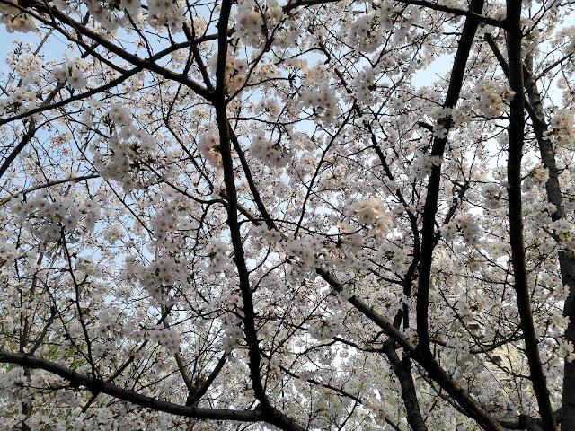 満開の桜の枝のズームアップ