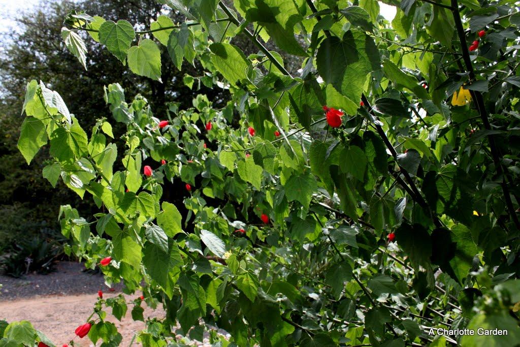 A Charlotte Garden Native Plant Turk S Cap Sleepy Mallow