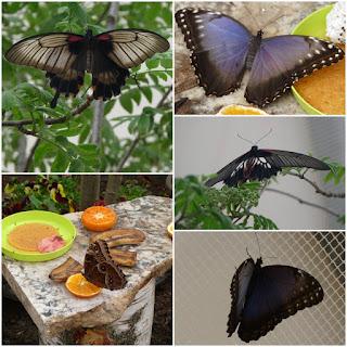 egzotyczne motyle