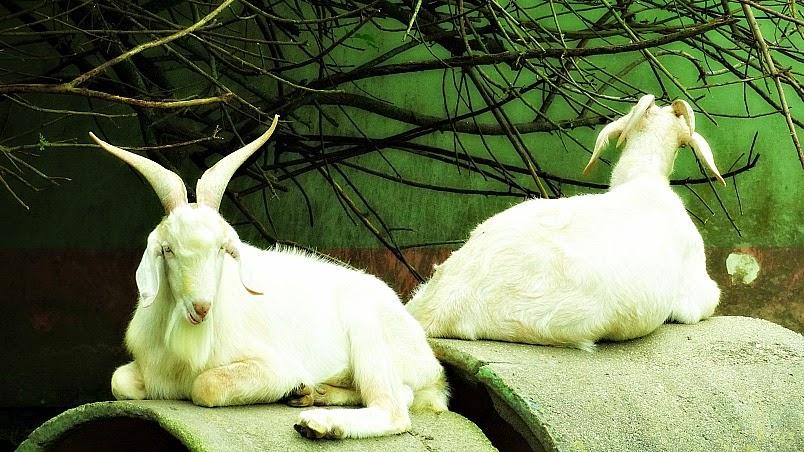 O bode e a cabra de costas um para o outro