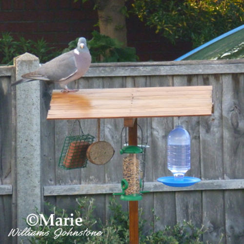 wood pigeon on wooden bird feeder station