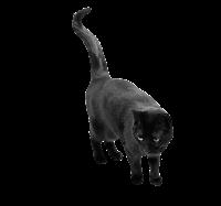 gato preto com rabo alto