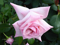 靭公園(うつぼこうえん)のバラ園 プリンセス ノブコ イギリス コッカー