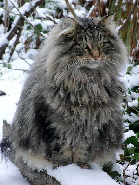 Gặp gỡ 17 chú mèo bự con nhất thế giới