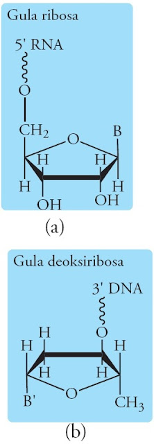 komponen-ribosa-deoksiribosa-RNA-DNA