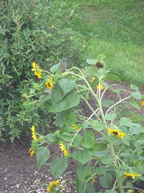 上升在向日葵的灰鼠(只是显示他的尾巴)