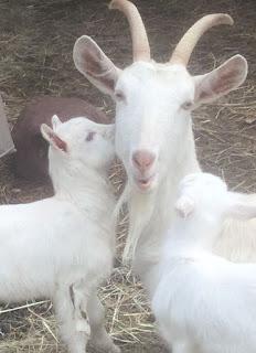 2019 goat kidding schedule, kidding schedule, goat farm, baby goats,