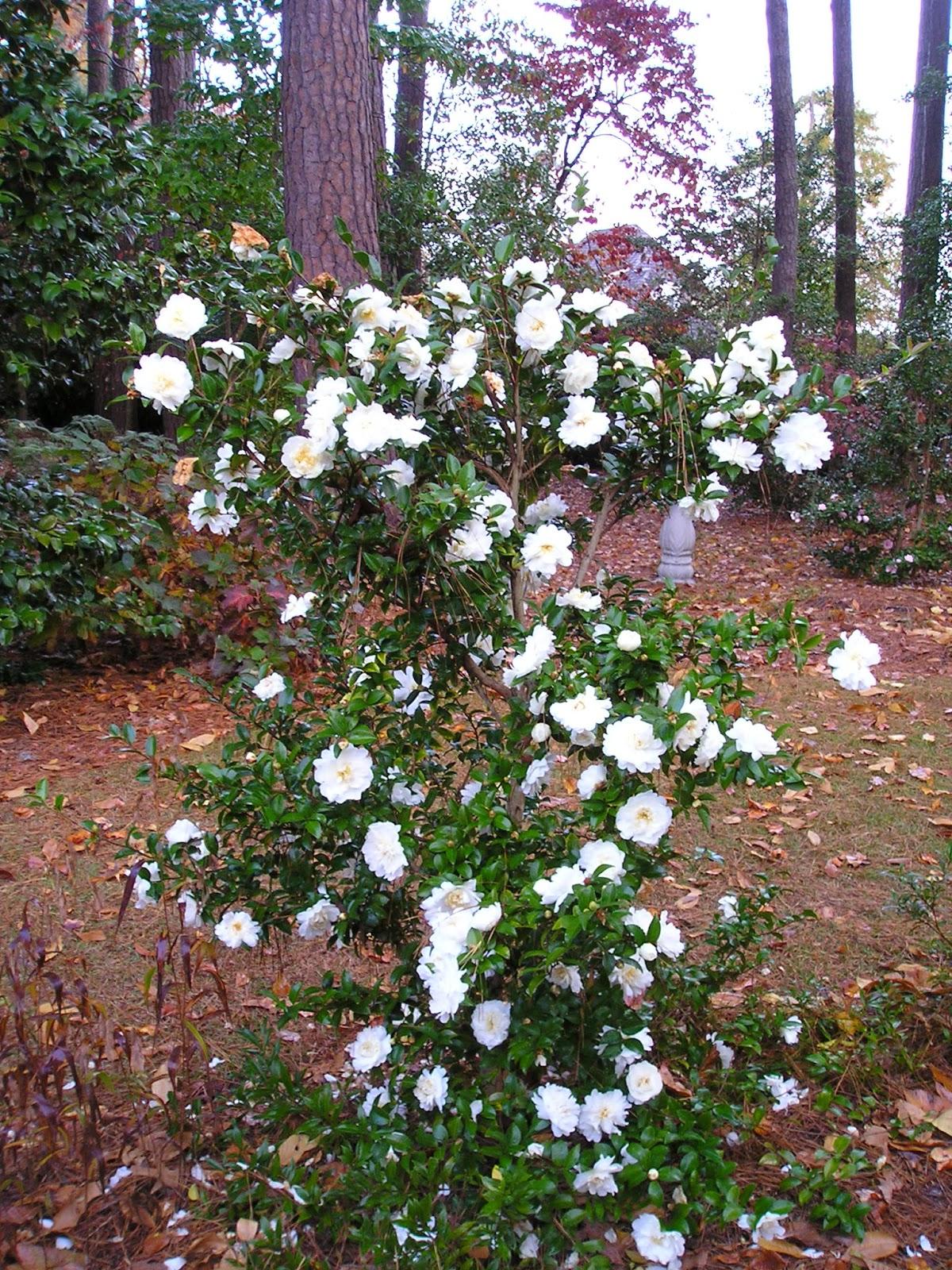 Carol S Garden: Carol's Greenville NC Garden: Mine-no-yuki