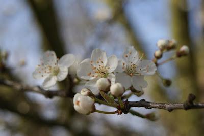 An einem Ast wachsen kleine, weiße Blüten