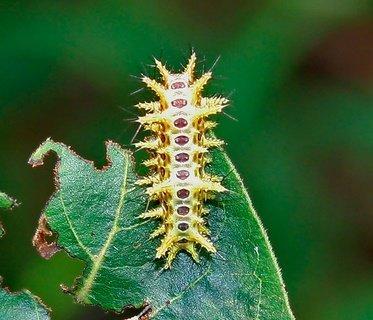 Ulat Limacodidae yang Beracun (Ulat Api)