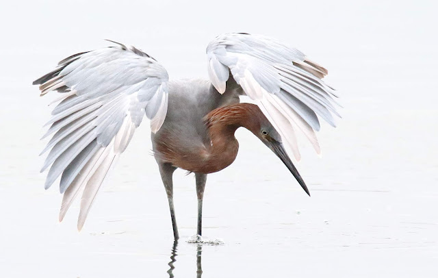 Reddish Egret high key