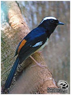 Burung Murai Batu - Mengenal Sub–spesies Burung Murai Batu Copsycus luzoniensis (White-browed Shama) -  Penangkaran Burung Murai Batu