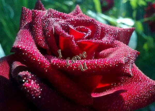 a amazing water perle  red rose for ur love wallpaper