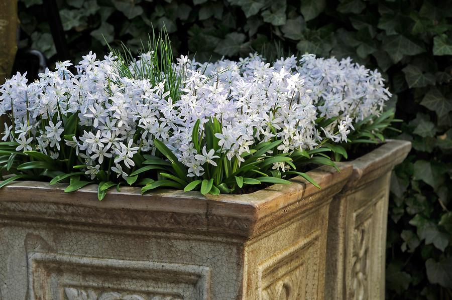 Flores blancas de escila en maceta