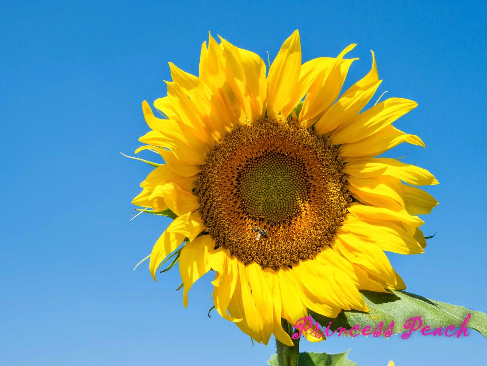超大向日葵
