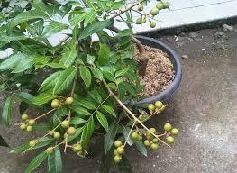 gambar buah kelengkeng dalam pot cepat berbuah
