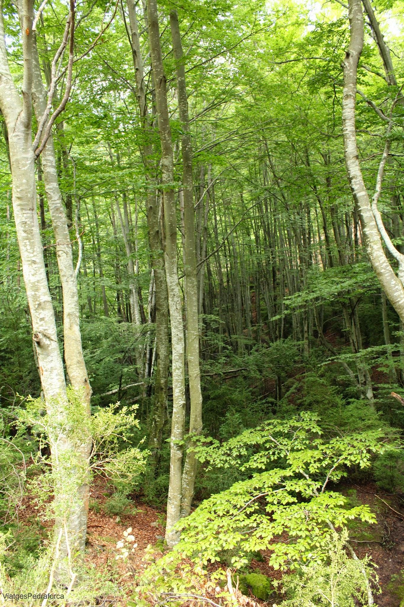 Fageda de Millarès Parc natural del Cadí-Moixeró Alt Berguedà Bagà