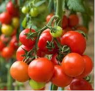 Ingin Sukses di Usia Muda dengan Bertani Tomat