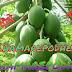 पपीते की खेती ( Farming of papaya )