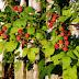Как без ущерба для урожая омолодить малинник