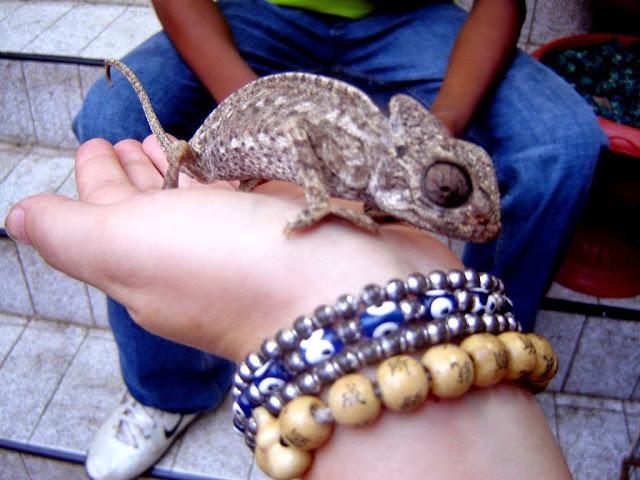 Jemaa El Fna Marrakesz kameleon
