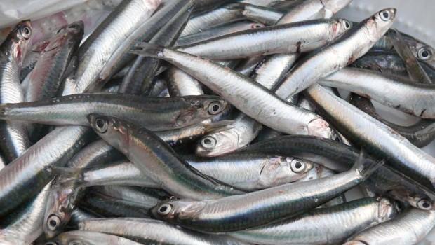 Συνελήφθη 63χρονος να διακινεί στον Πόρο νωπά αλιεύματα επιβλαβή για την υγεία
