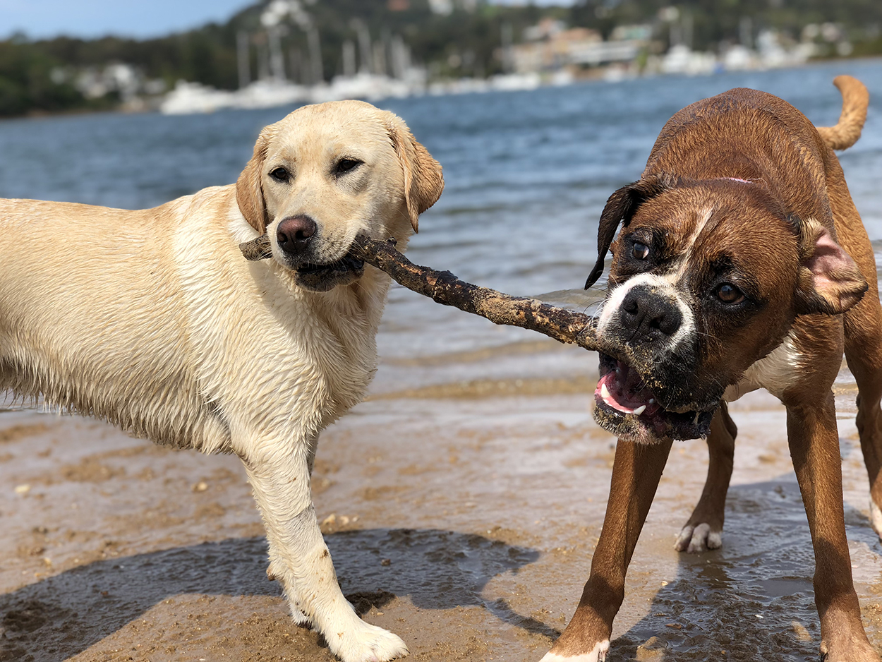 Labrador and Boxer playing tug with stick on Sydney's Northern Beaches