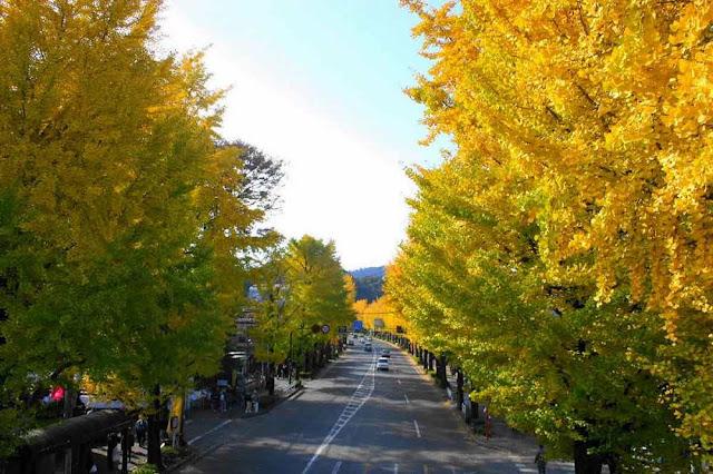 Hachioji Ginkgo Festival | November 19th & 20th, Hachiouji, Tokyo