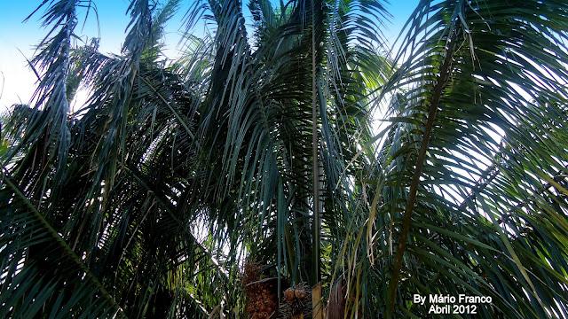 Folhas do Babaçu