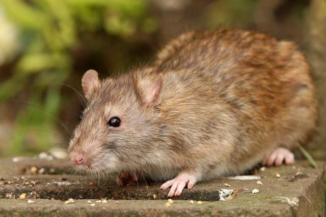 CHOCANTE – Bebê é comido vivo por rato gigante dentro da própria casa
