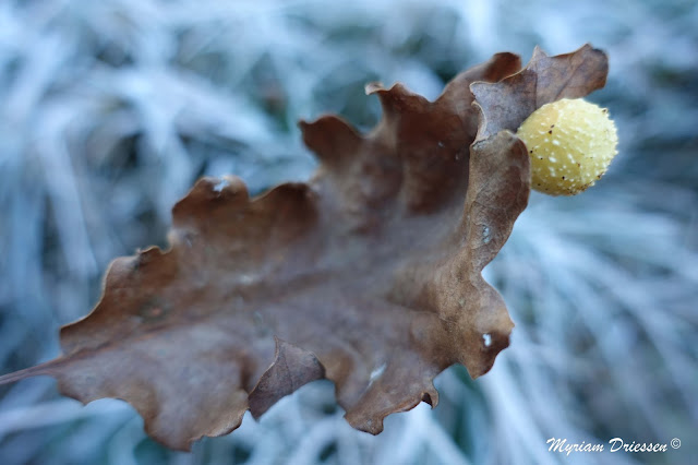 Oak gall South of France