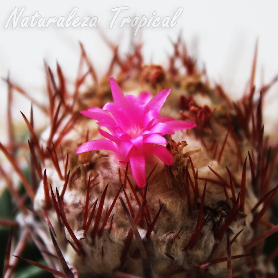 Flor abierta en el centro del cefalio del cactus conocido como Melón de Monte, Melocactus curvispinus