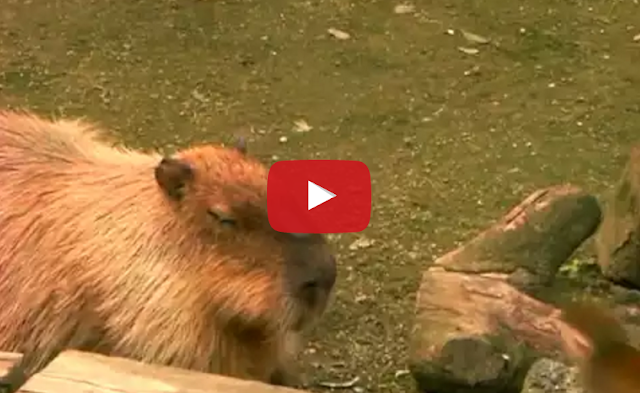 Tastefully Offensive: Monkey Punches Capybara in the Nose