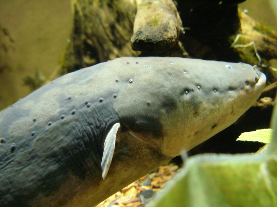 Electric eel | The Life of Animals