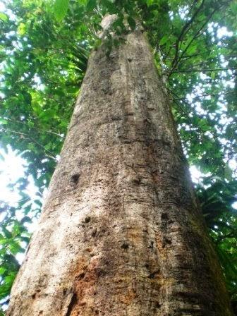 gambar pohon ulin tanaman kayu terbesar khas kalimantan
