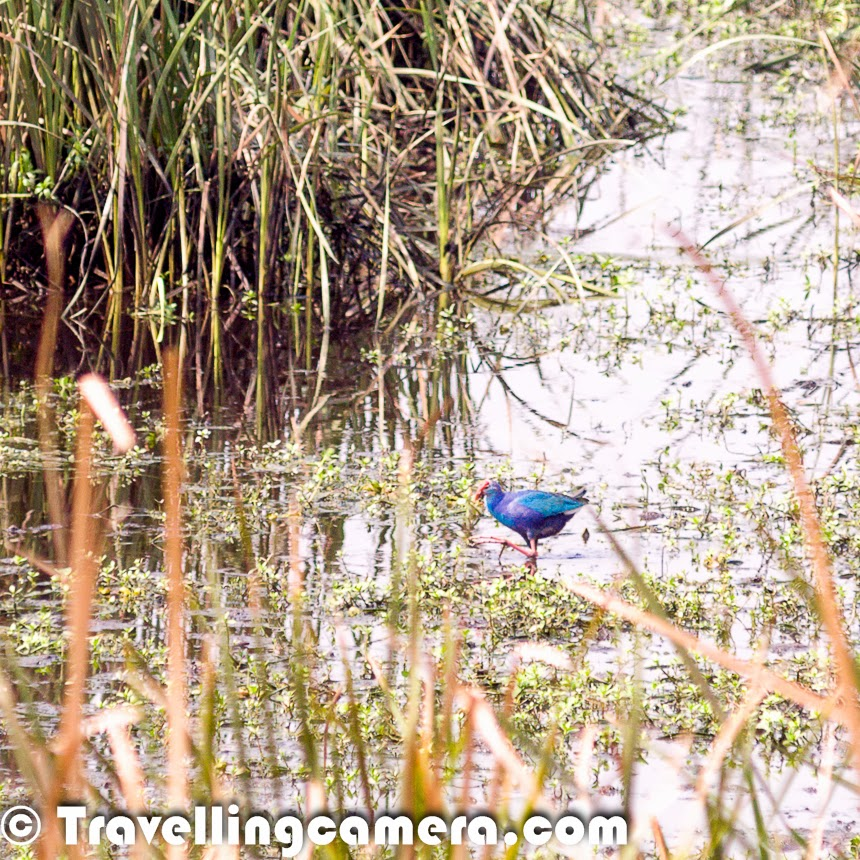 Last weekend, my nephew Nishant visited us in Noida and had a plan to visit Okhla Bird Sanctuary. We have been planning this visit for a long time and idea was to visit the sanctuary in migration period, which is mainly Dec/Jan. But this visit in March first week was also a very good experience. Let's check out this Photo Journey to experience the place and know more about it.I visited Okhla Bird Santuary last year in January with my office friends, during our photography course and that was first time when I realized that we have a very good place to explore in Noida. So on Sunday morning, we headed for the sanctuary which has an entry gate from Noida side. This gate is very close to Mahamaya Flyover. If you are coming from Kalindi Kunj, this gate will be on your left, but just before Mahamaya Flyover. It opens at 8am and closes at 5pm. We checked online and timings for Sunday were mentioned - 9am-3pm. We confirmed from the ticket counter and there is no change in timing on Sundays.This place is located on one side of Yamuna River. We took our car inside. Ticket for car is 100 Rs and it's 30 rs per person for a day. Just after entering we see these huge water patches on our left with different types of colorful birds floating around. Birds were comparatively less in the month of march but definitely you see major chunk of the water covered with birds during the month of Jan.Nishant was all set with his Terrestrial Telescope and we had to stop the car at different places, to identify the birds and a keep a record. In a hurry, we forgot to pick the book on birding which helps in identifying  birds. We saw Northern Pintails, Red Wattled Lapwings, Intermediate Egret, Kingfisher, Eurasian Wigeon, peacock, maina, cormorants, Black kites, Purple Swamphen, sun-birds and many others, which are yet to be identified by us :) .There were quite a few Black Winged Stilts around these water bodies, most of them continuously walking and picking something from water.Spot-billed Ducks were having fun during morning bath at Okhla Bird Sanctuary. There are small pond around the shoreline, where groups of birds were having fun. While writing this, I realized that I should have made some videos as well, wherein some of the birds were jumping on each other by spreading their wings. Spot-billed Ducks can also be seen in the lake at Hauz Khas Village in Delhi.Sorry for bad quality of photographs, as all of these are cropped versions from long distance shots. We noticed few Kingfishers around us and could capture one of them sitting on the long grass around water ponds. The whole Eco-system inside Okhla Bird Sanctuary kept us involved through one or other way. After a while we parked our car on the other extreme. There is a huge tree with few rooms inside the sanctuary, where we could park the car. From this point, we had two options to reach two different watch-towers.We got down form the main road inside the bird sanctuary and had to cross a bridge made up of bamboo. Above photograph - Nishant crossing the same bridge I just mentioned. It's quite long and interesting spot to pose. Now onwards, we had to walk till the watchtower through a narrow path surrounded by high grass with beautiful sounds of birds. There were lot of small and active birds around this grassland. We were keeping closer eye around us and then we experienced something unexpected.One of us noticed a small antelope deep inside the grass and soon after he came out to the region where all of us could see him. He kept looking at us for a long time and suddenly a group of 10 antelopes appeared in front of us. This was amazing. We hadn't expected this :). After spending some time around this place, we moved towards the watchtower. The group of antelopes were walking parallel to us and as we climbed to the top of watch-tower, they started crossing the water body. At this point of time, we were not sure if they would be able to cross the shallow water or not. There were few birds floating on this water, so we were suspecting that water would be deep, but probably they were more experiences and finally reached the other side. From their walk, it seemed quite difficult.We spent around 20 minutes on the watchtower and made best use Terrestrial telescope. Nishant was carrying it all the time and made sure that everyone gets a turn when he noticed something worth viewing/experiencing. We noticed that there is a specific etiquette to be followed when using the watch-tower. As we approached the watch-tower, we could see that it was occupied. But as we reached it the people who were using the watch-tower climbed down so that we could also experience it. We didn't have to ask for it and we also followed the same protocol.While walking back towards the car, we heard a very strange sound which was coming from the marshland with high grass. The sound was very different and we started imitating the sound :). It was Purple Swamphen which usually makes loud, quick, bleating and hooting calls. These birds are considered as noisy during their breeding season. Purple Swamphen can fly long distances which doesn't match with it's size and the way this bird behaves on ground.This visit was much more rewarding than we had anticipated. Even though most of the migratory birds had flown away by this time, this was a blessing in disguise because we were more aware of the other inhabitants of the sanctuary. For example, the resident birds, of which also a vast variety is present.