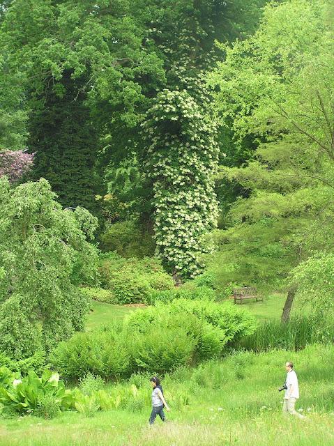 wielka hortensja pnąca na drzewie