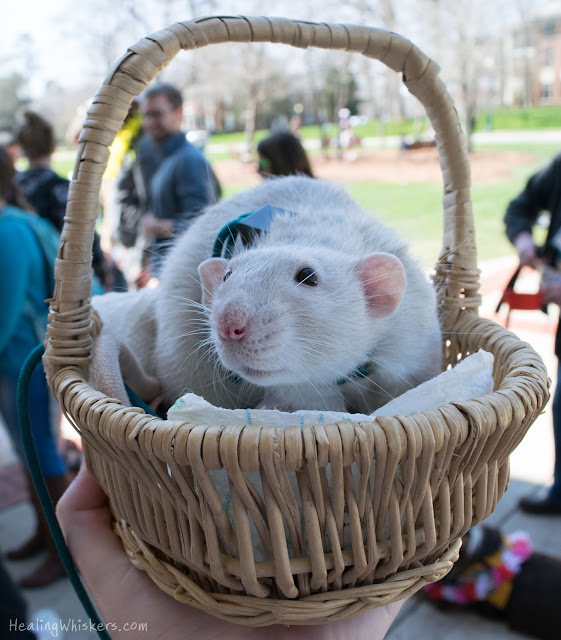 Oliver the Therapy Rat at Berry College in his basket