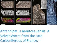 http://sciencythoughts.blogspot.co.uk/2016/10/antennipatus-montceauensis-velvet-worm.html