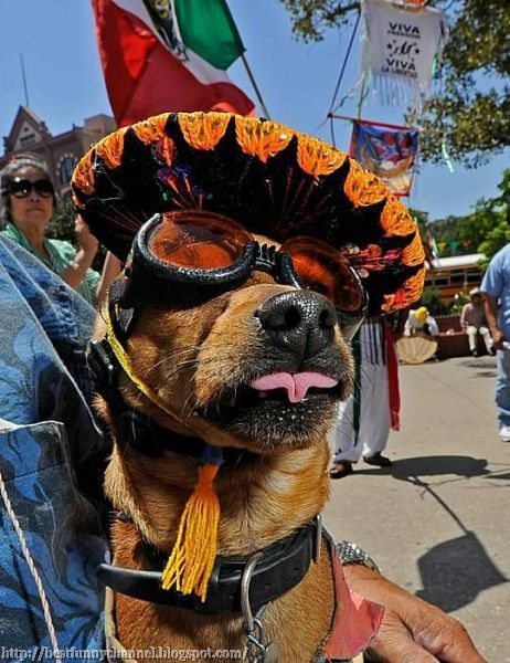 A dog in a sombrero.